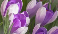 Crocuses: Nature's Anti-Depressant