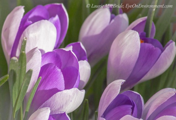 mauve crocuses