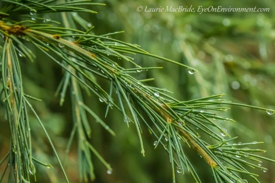 Deodar cedar branch with raindrops