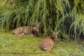 Doe and fawn under a Deodar cedar