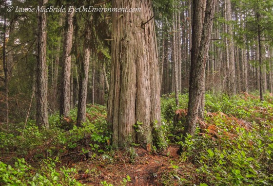 Western red cedar tree with Douglas firs in a forest
