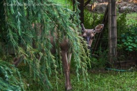 Deer peeking out from behind a Deodar cedar