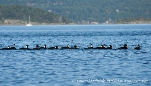 Scoter parade: the females are 4th from each end.