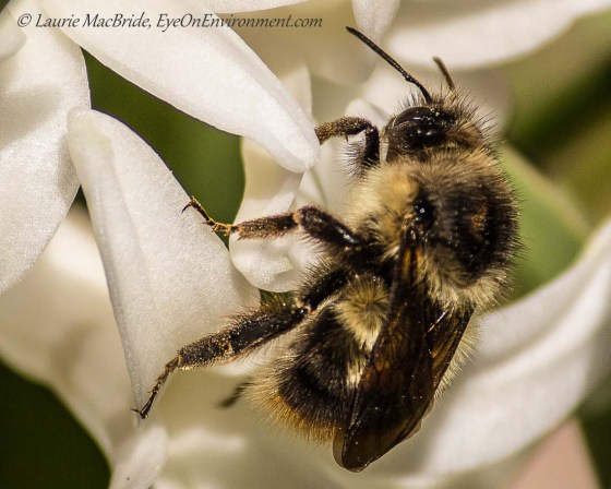 A bee pollinating a hyacinth