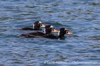 Three male surf scoters