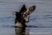 Surf scoter with wings raised