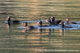 Group of surf scoters interacting