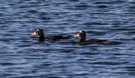 A Weekend with Surf Scoters