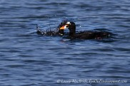 A male surf scoter floating with another one beside him, diving down