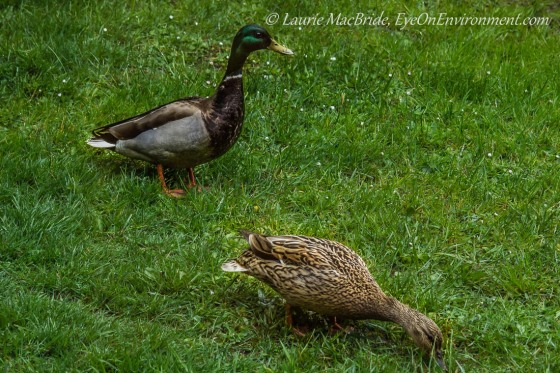 Male mallard duck guarding while female eats from lawn