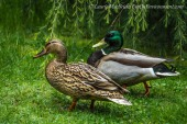 Male and fem.ale mallard ducks