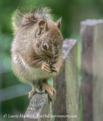 Red Squirrel on top of gate, holding food