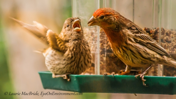 Male House Finch feeding a flapping juvenile on a bird feeder