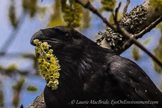 Raven holding maple flower stem in beak