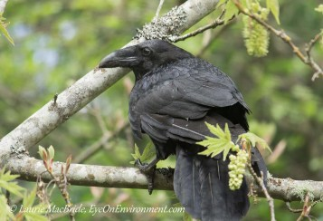 Close view of raven in maple tree