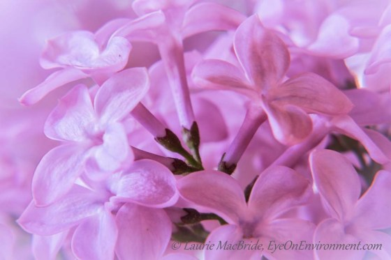 Close-up of lilac blossoms