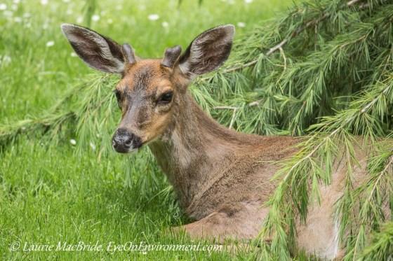 Young male black-tailed deer lying under a Deodar cedar