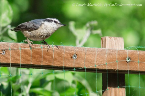 Red-breasted nuthatch on top of a pea trellis