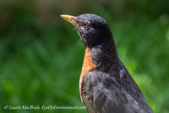 American Robin looking over his domain