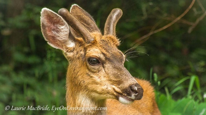 Two year old buck with symmetrical antlers