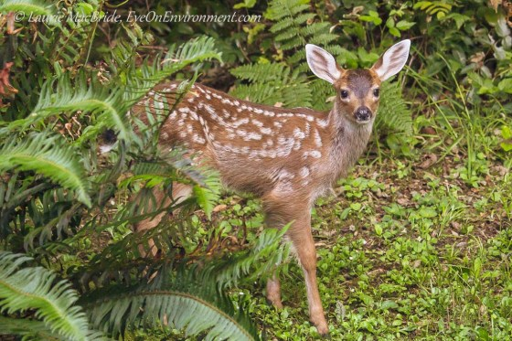 Fawn watching at the forest's edge