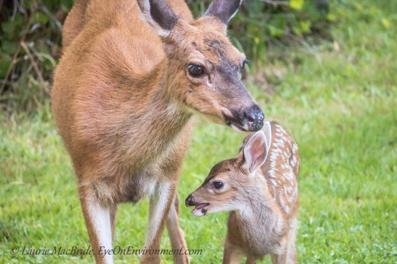 Black-tailed doe with new fawn