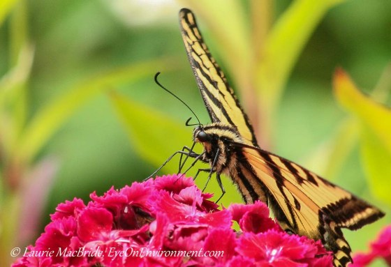 Closeup of Swallowtail butterfly on Jerusalem Cross flowers