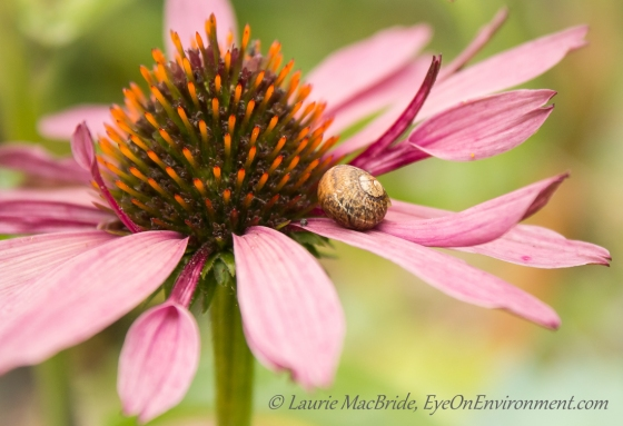 Tiny snail on an echinacea petal