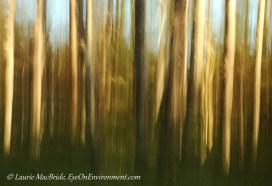 Abstract of Douglas fir grove