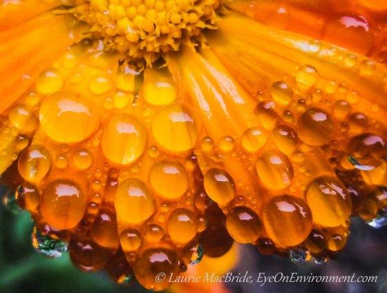 Closeup of orange calendula petals with raindrops on them