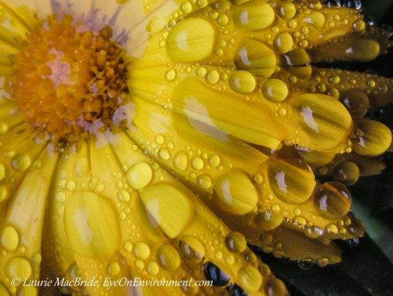 Closeup of yellow calendula petals with raindrops