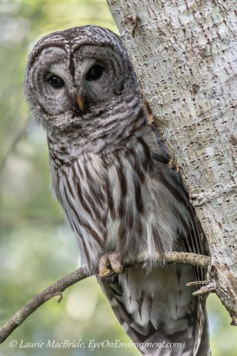 Barred owl on tree branch