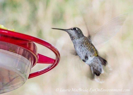 Anna's Hummingbird beside feeder