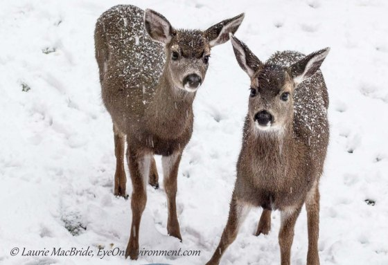 Twin black-tailed deer fawns