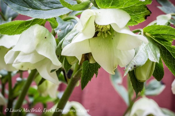 While hellebore flowers seen from below