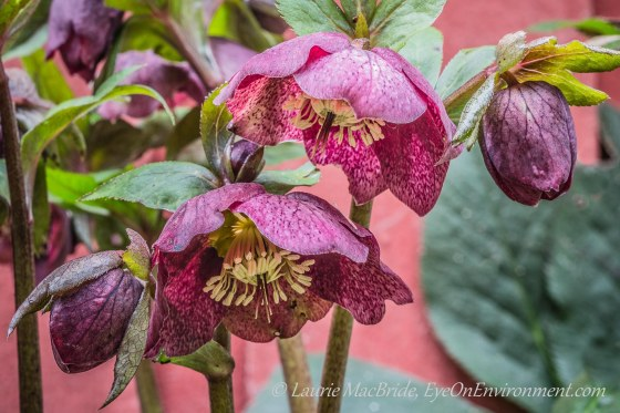 Brightly coloured hellebore (Lenten Rose) flowers