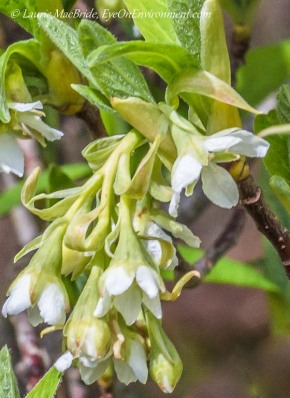 Detail of Indian plum flowers