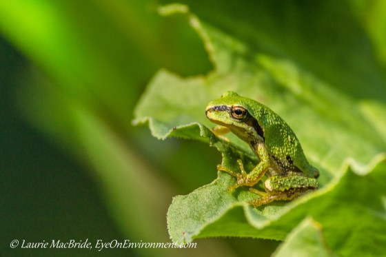 Pacific tree frog on a rhubarb leaf