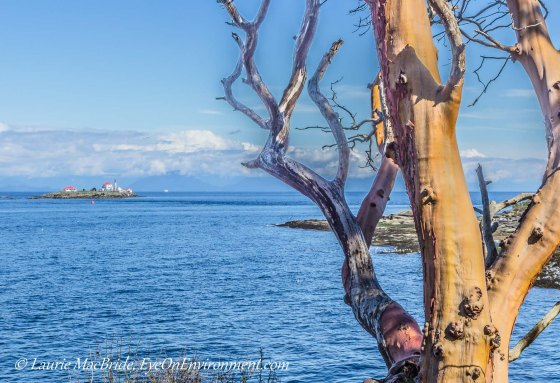 View of Georgia Strait and lighthouse, with arbutus tree in foreground