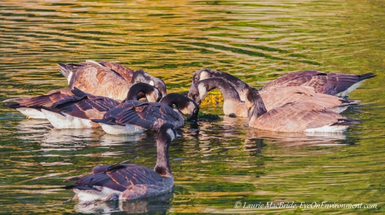 Canada geese sharing seaweed.