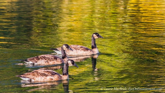 Three geese with golden light on the water
