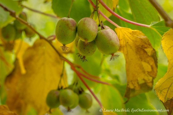Hardy kiwis on the vine