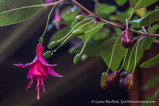 Fuschia plant with flower and fruits