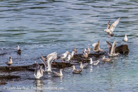 Seagulls feasting on herring
