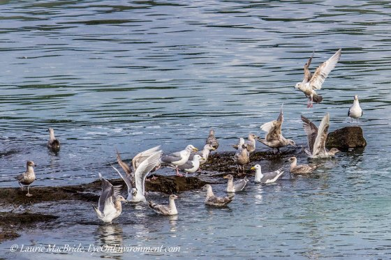 Seagulls feasting on herring