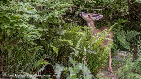 Deer reaching up to eat oceanspray