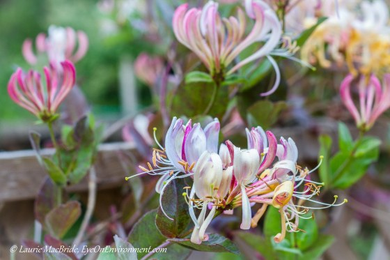 honeysuckle in bloom