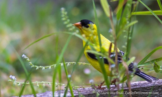 Goldfinch's Lunch