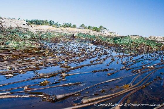 Bull kelp beds