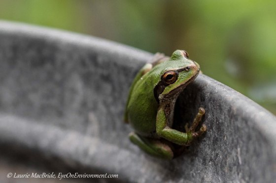 Pacific tree frog clinging to barrel